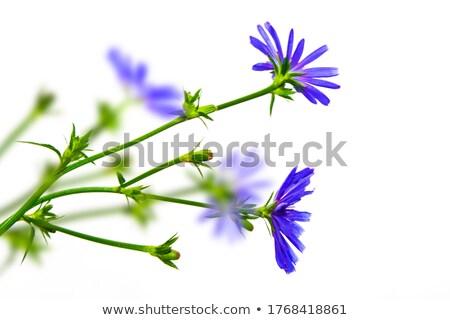 common chicory lat cichorium intybus stock photo © fisfra