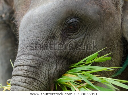 Young elephants eating grass Stock photo © Hofmeester