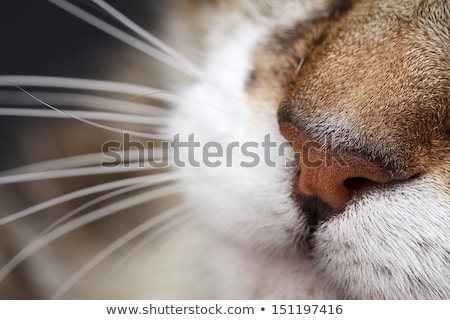 Sleeping cat, close-up. Stock photo © kawing921