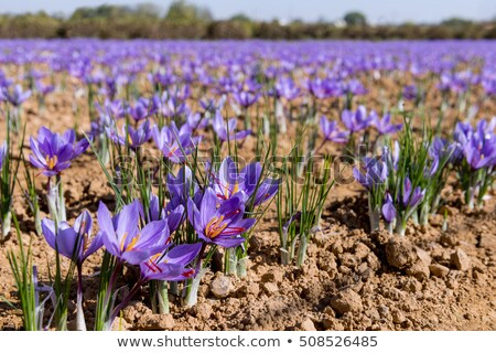 purple cultivated saffron Stock photo © taviphoto