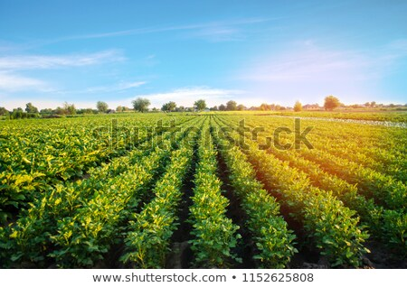 Potatoe Industry Stock photo © gemenacom