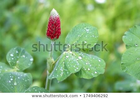 Bíbor lóhere természet zöld piros növény Stock fotó © rbiedermann