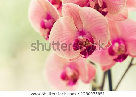 Mooie roze orchidee bloemen Geel bloem Stockfoto © GeniusKp