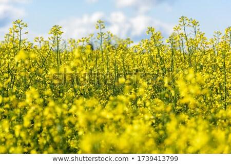 Close up of gentle blooming rapessed crop flower Stock photo © stevanovicigor