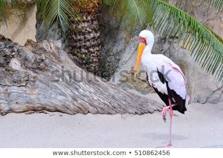 Mycteria ibis, Tantalum African. Stock photo © asturianu