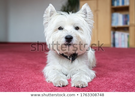 west highland white terrier on the white studio floor stock photo © vauvau