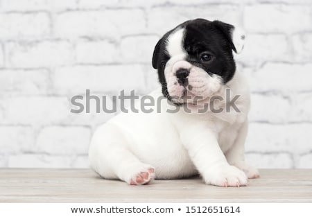 Stock photo: puppy bulldog relaxing in a white studio