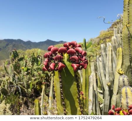 Hercules Club, Canary Island Spurge (Euphorbia canariensis) Stock photo © Digifoodstock