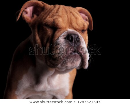 head of adorable english bulldog standing with eyes closed Stock photo © feedough