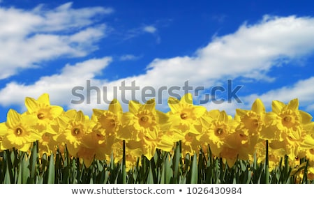 Daffodill with field of flowers Stock photo © bobkeenan