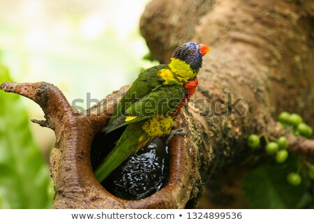 Parrot washing in tree branch Stock photo © Juhku