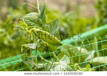 pea pod grows on grid field Stock photo © romvo
