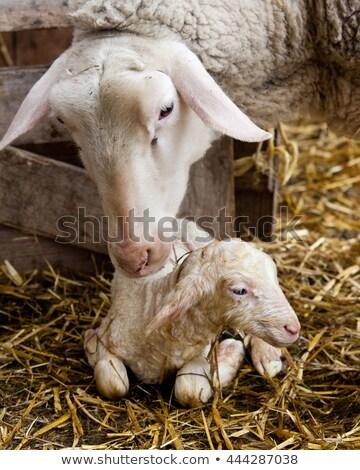 koyun · kuzu · çiftlik · ahır · tarım · genç - stok fotoğraf © luissantos84