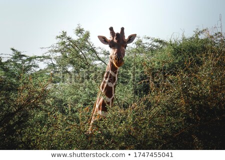 An African giraffe head poking out in the savanah. Stock photo © Sportlibrary