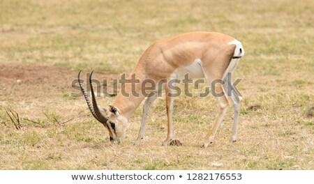 Grant's gazelle (Gazella granti) Stock photo © ajlber