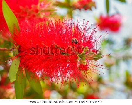 kırmızı · kırmızı · çiçekler · yeşil · yeşillik · yerli · kır · çiçeği - stok fotoğraf © sherjaca