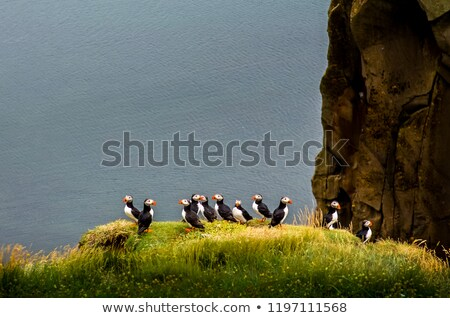 Puffin bird - Iceland stock photo © tomasz_parys