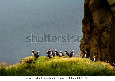 Puffin bird - Iceland Stock photo © tomasz_parys