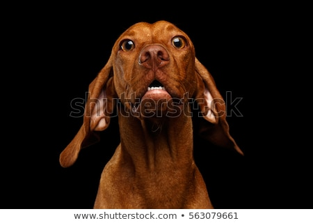 Funny Vizsla. Stock photo © Reaktori