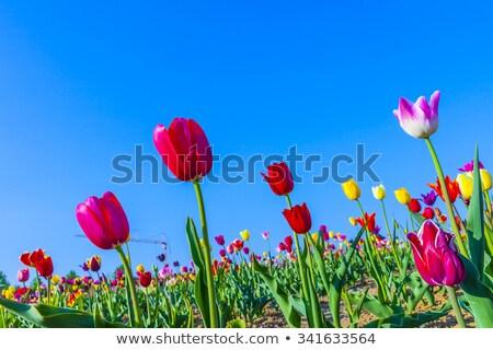 Many Colored Tulips Stock photo © dbvirago