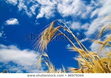 arany · búza · fülek · kék · ég · dél · Ukrajna - stock fotó © mycola