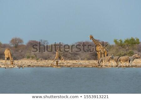 giraffe giraffa camelopardis and plains zebra equus quagga stock photo © dirkr