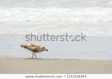 seagull walking at the sandy beach  Stock photo © meinzahn