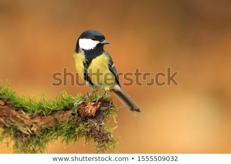 nagyszerű · cici · kert · madár · zöld · fekete - stock fotó © elenarts
