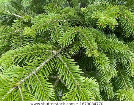 ель рождественская елка выстрел готовый Сток-фото © skylight