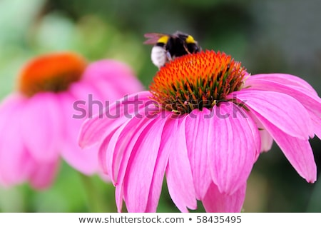 bumblebee on flowers of Echinacea purpurea Stock photo © Mikko