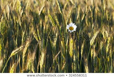 Verde trigo cabeça cultivado agrícola campo Foto stock © stevanovicigor