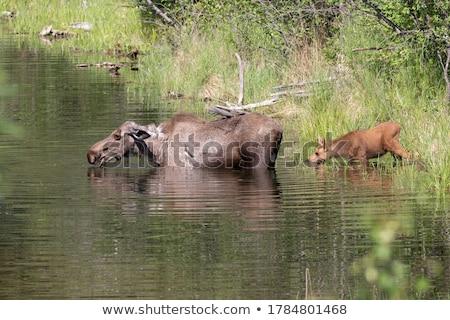 Femminile Moose lago vegetazione valle Foto d'archivio © wildnerdpix