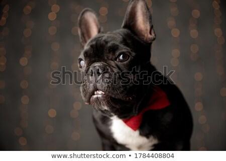 amazed french bulldog puppy dog wearing bowtie Stock photo © feedough