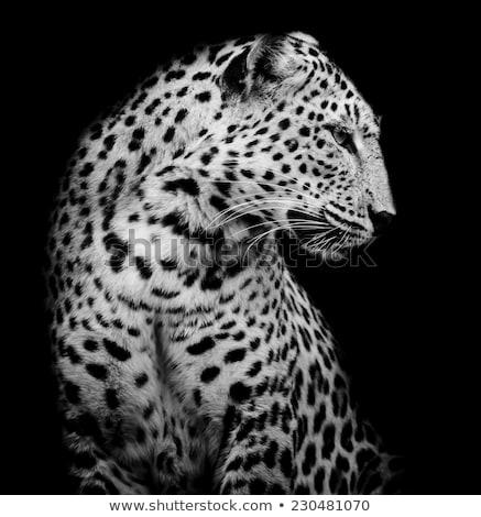Stock fotó: Oldal · profil · leopárd · park · Dél-Afrika · állatok
