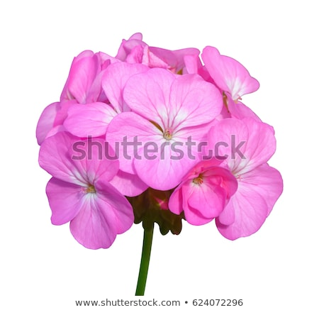 geranium isolated Stock photo © nenovbrothers