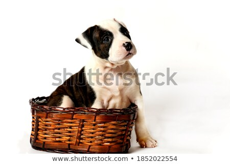 Amstaff sitting in a white studio stock photo © vauvau