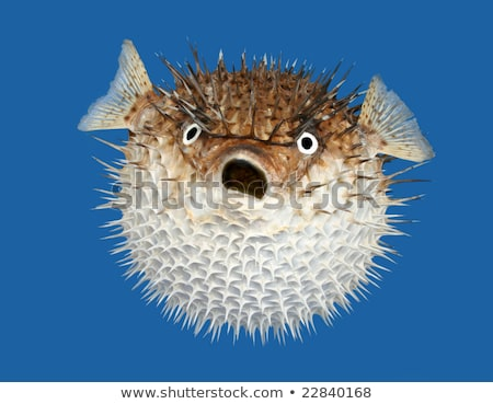 blue puffer fish on white background stock photo © bluering