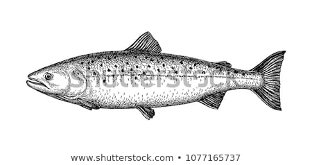 Salmon fish isolated. Marine animal Vector illustration. Stock photo © popaukropa