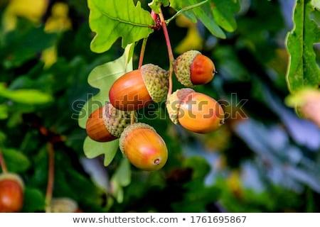 Geïsoleerd voedsel vruchten bomen weide eiken Stockfoto © asturianu