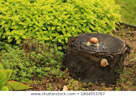 Two snails crawling on the stump tree Stock photo © colematt