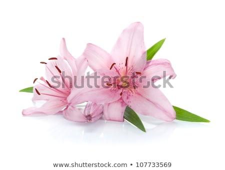 pembe · çiçek · iki · çiçekler · yeşil · yaprakları · beyaz - stok fotoğraf © colematt