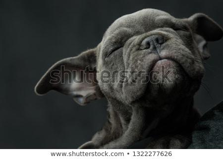 ストックフォト: 愛らしい · アメリカン · 子犬 · 犬 · 睡眠