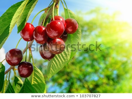 Unripe and ripe cherry. Stock photo © Leonardi