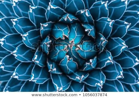Belo agave cacto flor textura abstrato Foto stock © galitskaya