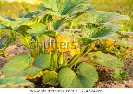 ズッキーニ 外に 咲く 花 小さな 黄色 ストックフォト © romvo