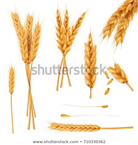Designed Agriculture Grain Wheat Ripe Spike Vector Stock photo © pikepicture