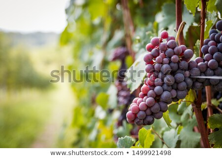Ripe grapes ready for harvest Stock photo © Ansonstock