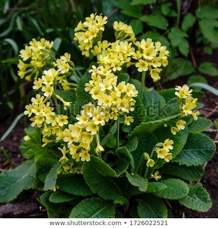 Foto stock: Yellow Primrose