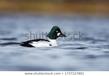 Goldeneye stock photo © chris2766