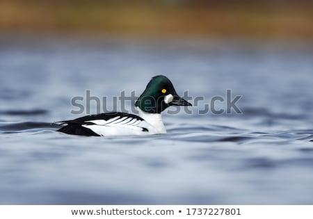 úszik tó közelkép természet madár fekete Stock fotó © chris2766